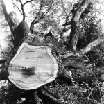 Tronchi e alberi, Giuseppe Ottai, Courtesy galleria STUDIO.RA