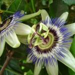 Passiflora o Fiore della passione - 25.5.2013
